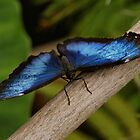 Blue Morpho Butterfly by Sandy Keeton