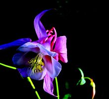 Beautiful Columbine by Esperanza Gallego