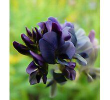 Purple Alfalfa Blossom Photographic Print