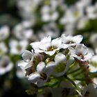 Spring Alysum by joshquag