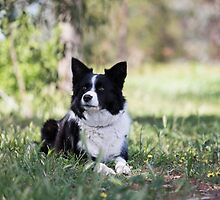 """Beautiful Border Collie.... Alley"""""""" by mitpjenkeating"""