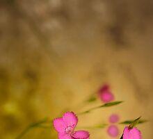 Dianthus by Gisele Bedard