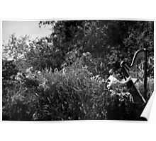 Black and White Harpist Poster