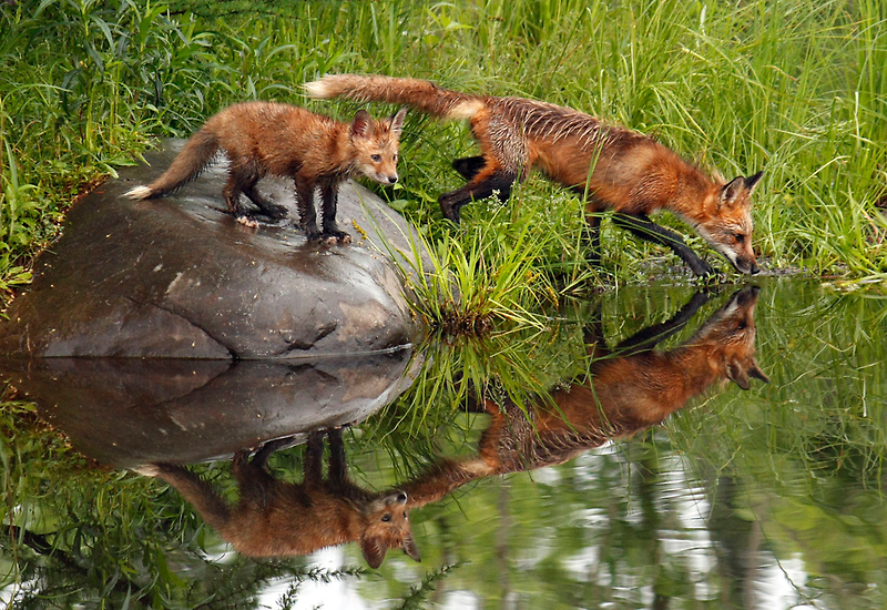 Red Fox Reflections by by M LaCroix