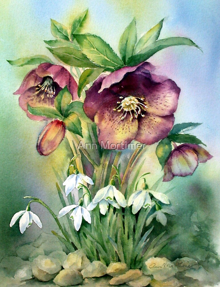 Quot Snowdrops And Hellebores Quot By Ann Mortimer Redbubble