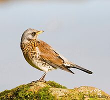 Fieldfare by markyboy1967