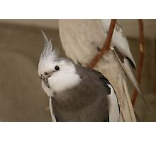 Wow! - White face Cockatiel! - NZ - Southland Photographic Print