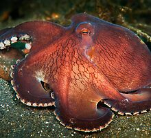 Red coconut octopus - Lembeh Straits by Stephen Colquitt