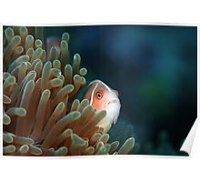 Skunk anemone fish - Lembeh Straits  Poster