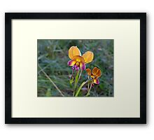 Donkey Orchid - Growing wild, Wongan Hills, Western Australia Framed Print