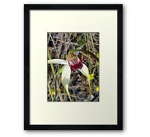 Spider Orchid - Growing wild, Wongan Hills, Western Australia Framed Print