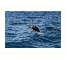 seal, Montague Island Art Print