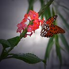 Gulf Fritillary on Porterweed by Judy Wanamaker