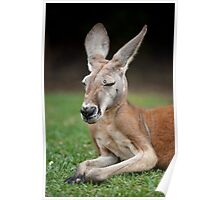 Red Kangaroo Poster