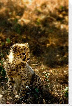 Why the Cheetah's Cheeks are Stained by Damienne Bingham