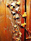 Old door & Ivy by buttonpresser