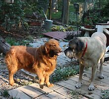 Pals Leo and Rosco- 10 by goldnzrule