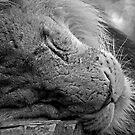 Just Lion Around......... by JMChown
