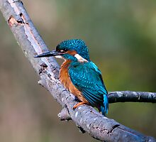 Kingfisher by Stuart Woodcock
