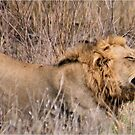 HMMM TIME TO MOVE ON - THE LION – Panthera leo by Magriet Meintjes