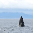 Spyhopping Humpback by Gina Ruttle  (Whalegeek)