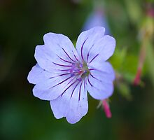 Geranium by Edward Jones