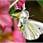~ Cabbage White ~ by Brenda Boisvert