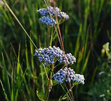 Late Day Field - Common Yarrow by goddarb
