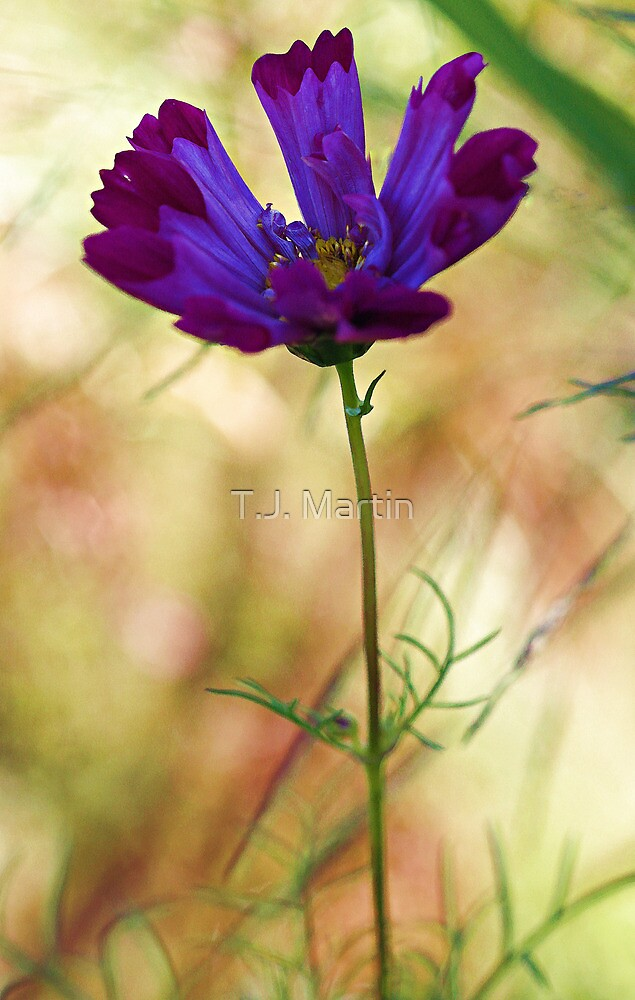 -Beautiful Lavender Cosmos by T.J. Martin