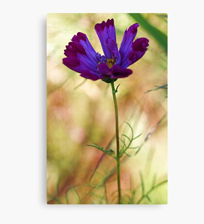 -Beautiful Lavender Cosmos Canvas Print