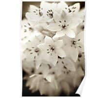 White Stars ~ Chincheree Poster