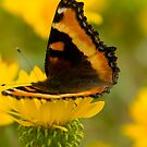 Butterfly on Yellow Flower, Montana photo. by Donna Ridgway