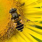 Bee, sitting in the sun by wjohnd