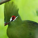 Livingston Turaco in Green with RED eye. by kellimays