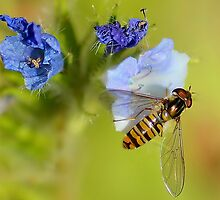 Hoverfly  / Episyrphus balteatus by relayer51