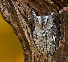 Eastern Screech Owl in stump by (Tallow) Dave  Van de Laar
