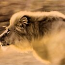 Panthera Leo - UP CLOSE ,THE CHARGING LION - in a full faced sunset by Magriet Meintjes