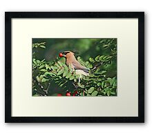 Cedar Waxwing in the Mountain Ash Berries Framed Print