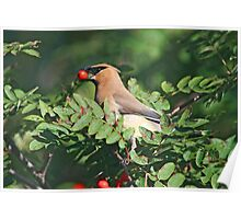 Cedar Waxwing in the Mountain Ash Berries Poster