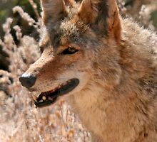 Coyote by RichImage