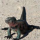 Galapagos Marine Iguana Dragging its Tail, Ecuador by Jane McDougall