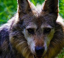 Mexican Grey Wolf by Ozzyank