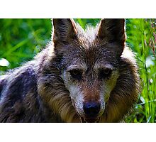 Mexican Grey Wolf Photographic Print