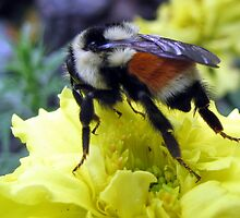 Bumblebee Kisses by Rose Gallik