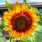 Sunflower Close Encounters by James Brotherton