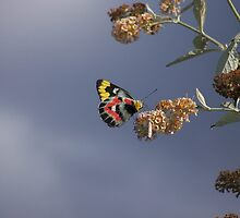 Butterly on the move by Sue Braggs