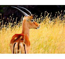 Gazelle Photographic Print