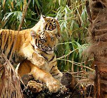 Sumatran Litter Mates by Sandra Chung
