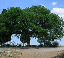 Oak tree, San Quirico d'Orcia, Tuscany by Andrew Jones