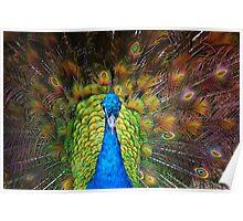 Peacock - Steve Poster